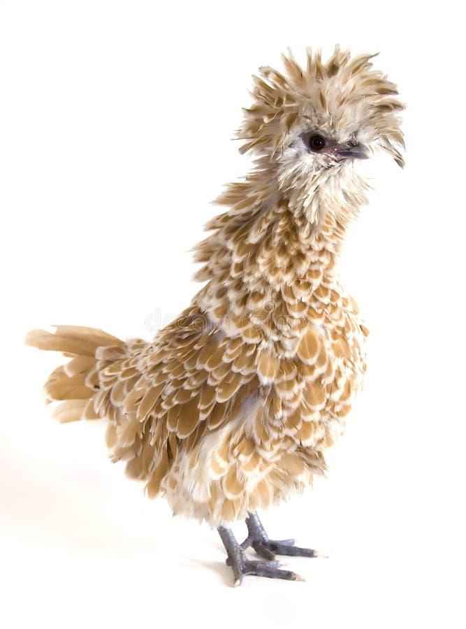 цыпленок frizzle заполированность стоковые изображения