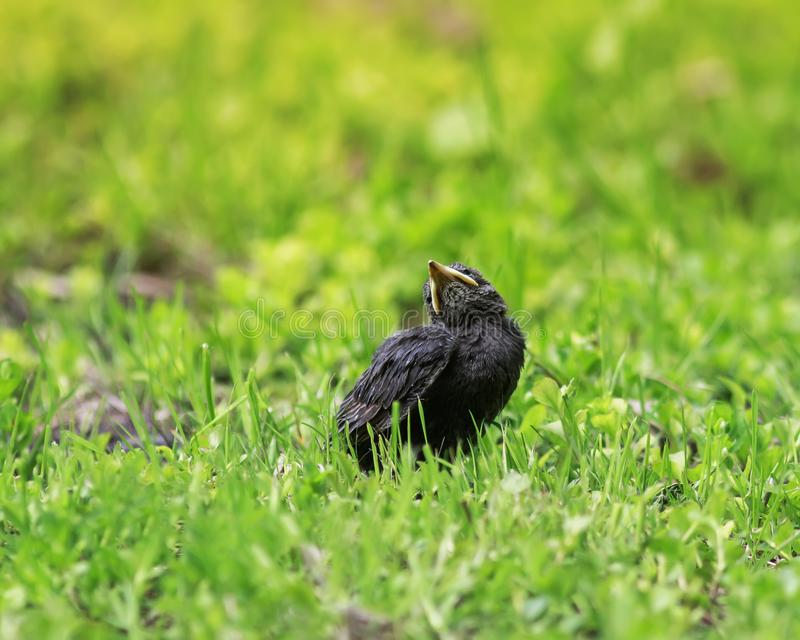 Цыпленок Starling при желтый клюв сидя в траве и ожидании стоковое фото