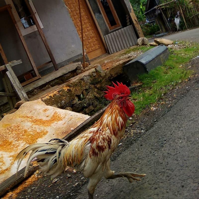 Цыплята бегут вокруг чувства для того чтобы фуражировать стоковое фото rf
