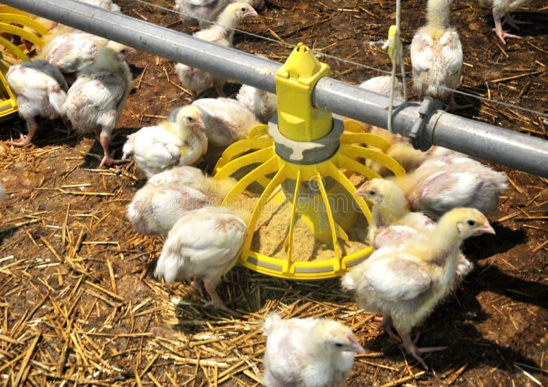 Цыплята бройлера приближают к фидерам стоковые фото