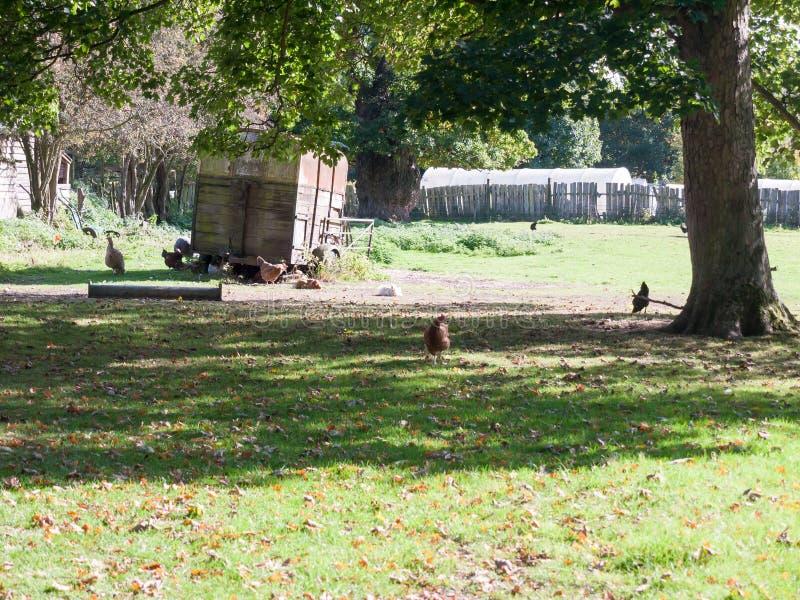 Цыплята вне курятника на траве фермы под деревом стоковые фотографии rf