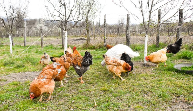 Цыплята в задворк есть зерна и траву мозоли стоковые фотографии rf