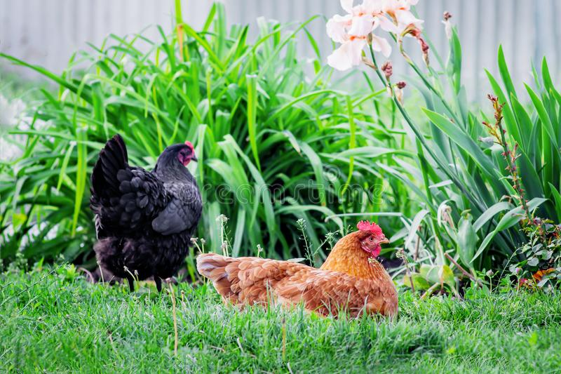 Цыплята в саде Брайн и черный цыпленок на природе на summe стоковые изображения rf