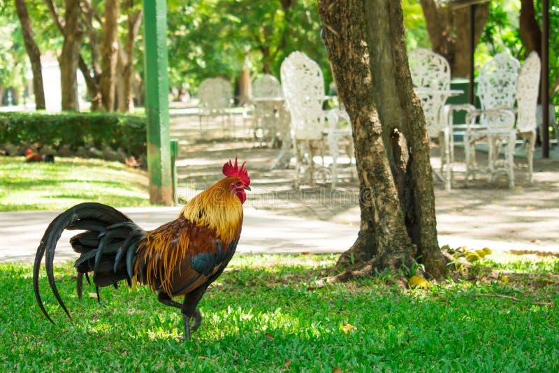Цыплята идя в парк r стоковые фото