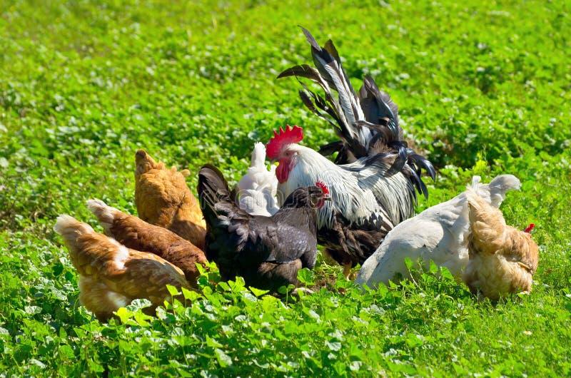 цыплята отечественные стоковое фото