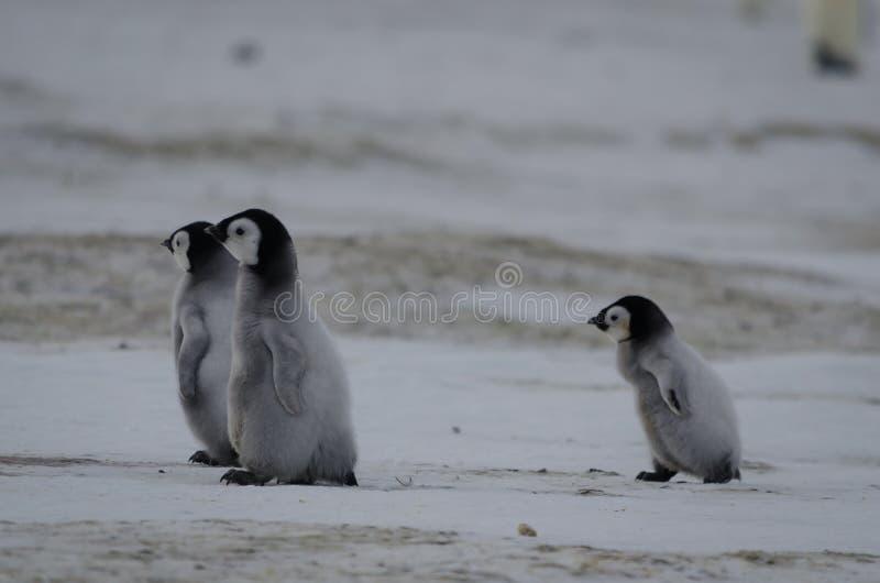 3 цыпленока пингвина императора стоковое фото