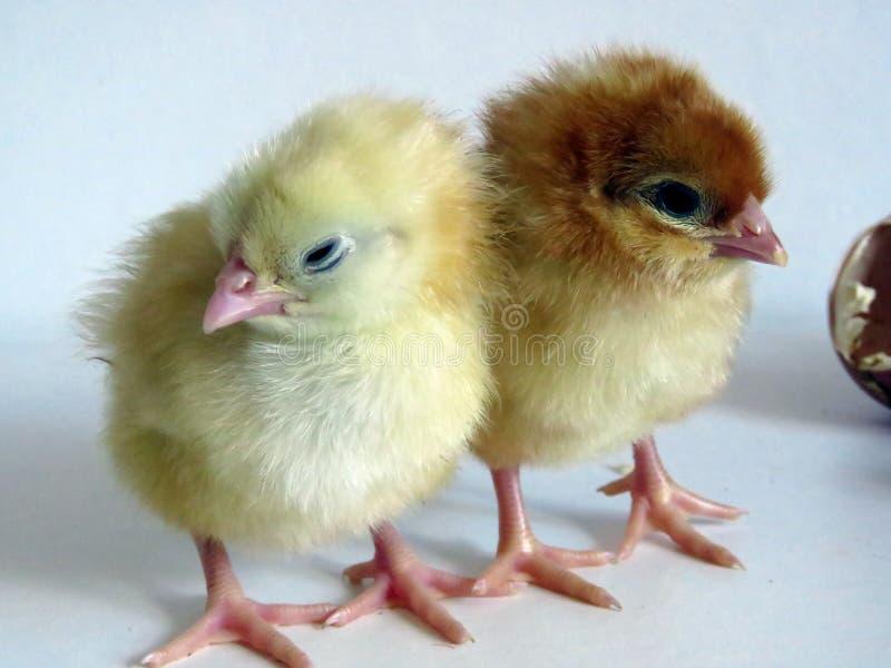 Цыпленоки младенца стоковое фото