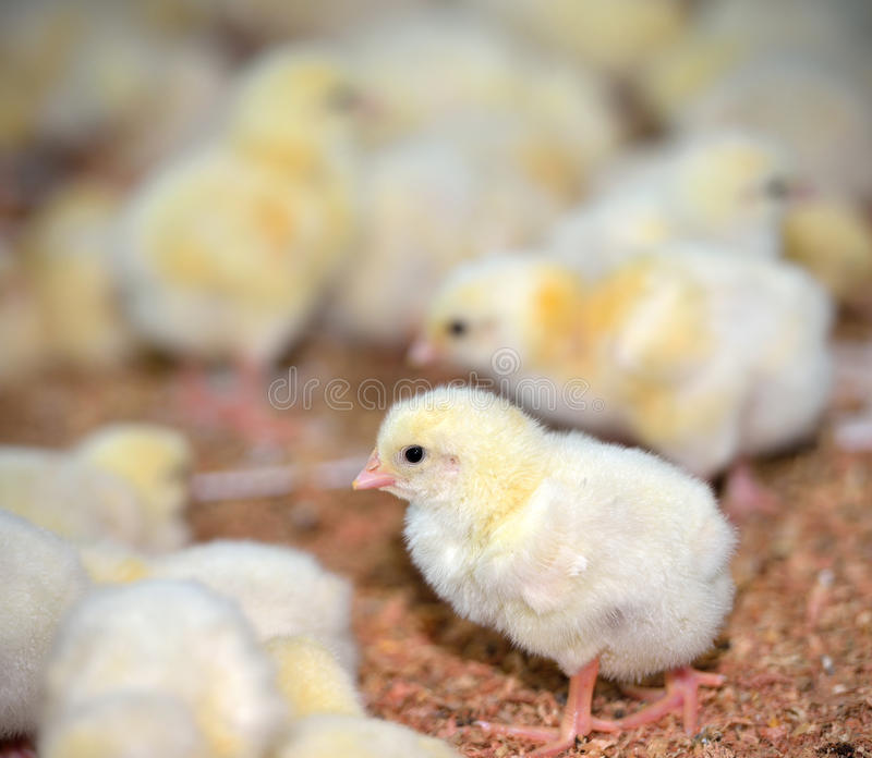 Цыпленоки на птицеферме стоковая фотография