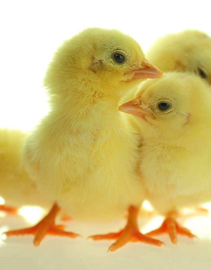 Цыпленоки стоя на белой предпосылке стоковые фото
