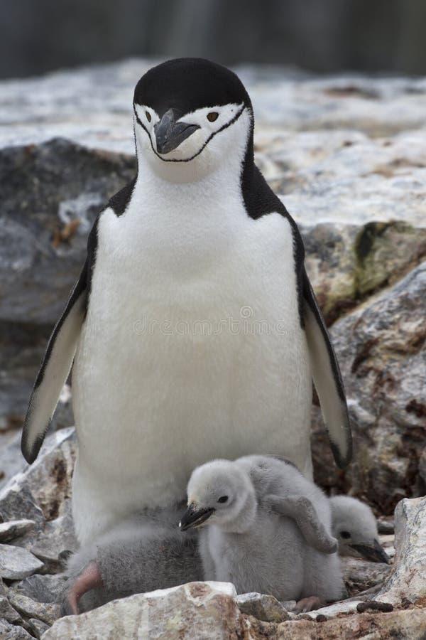 2 цыпленоков антартический пингвин женщины и в гнезде стоковая фотография rf