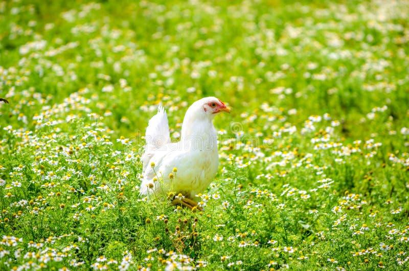 Цыпленок в саде стоцвета стоковое фото rf