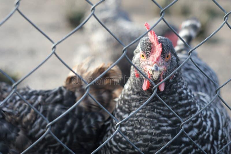 Цыпленок за загородкой стоковое изображение