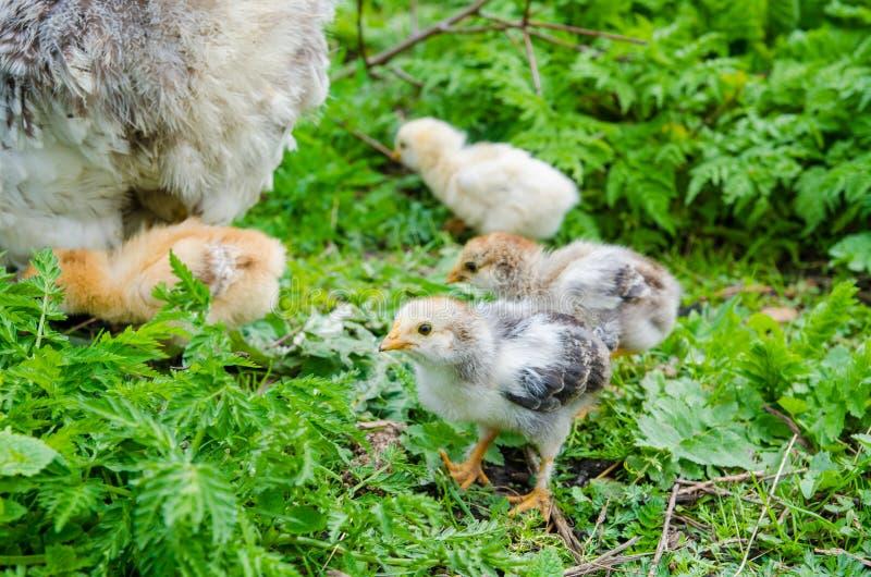цыпленок малый стоковое фото