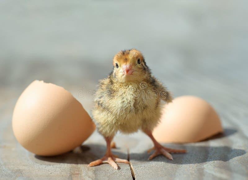цыпленок немногая Смешной ребенк куриц стоковое фото rf