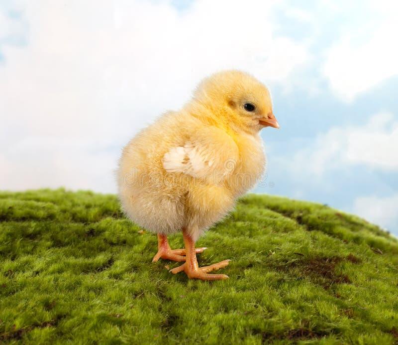 Цыпленок пасхи на прогулке стоковое фото