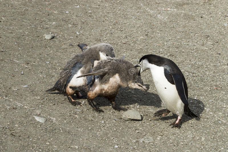Цыпленок пингвина Chinstrap подавая стоковые фото