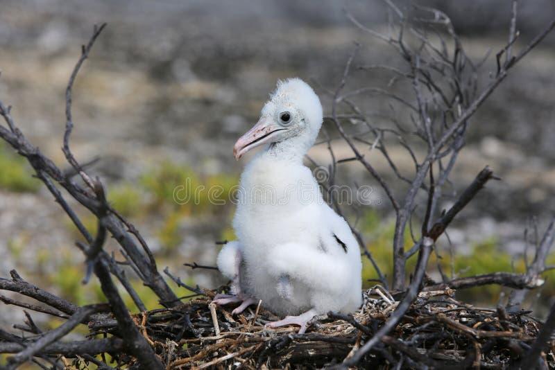 Цыпленок птицы фрегата стоковые фото