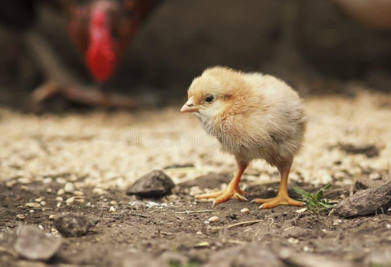 Цыпленок скотного двора смешной маленький идя вокруг двора фермы стоковая фотография rf