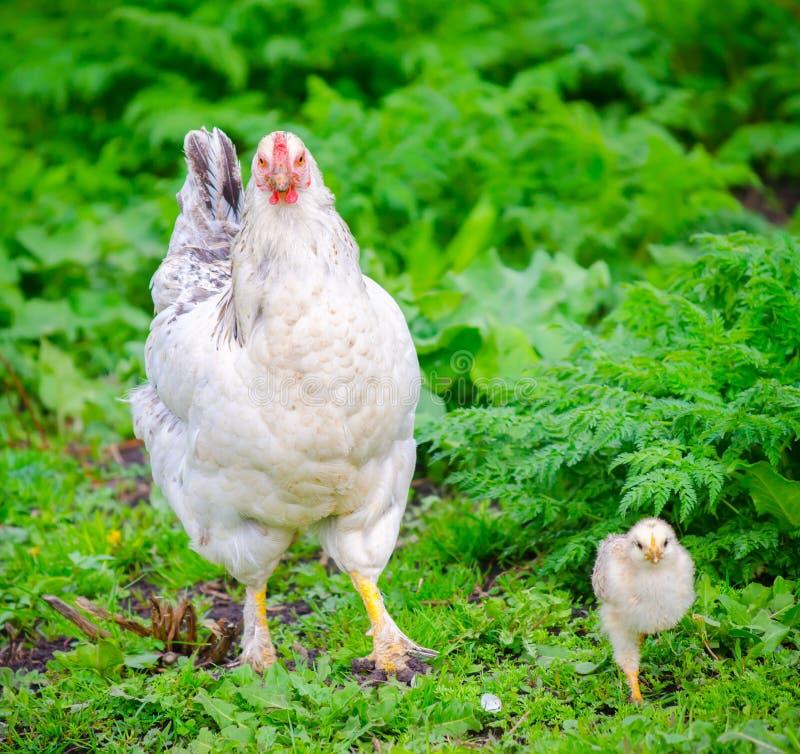 Цыпленок с цыпленоком на свежей зеленой траве стоковая фотография