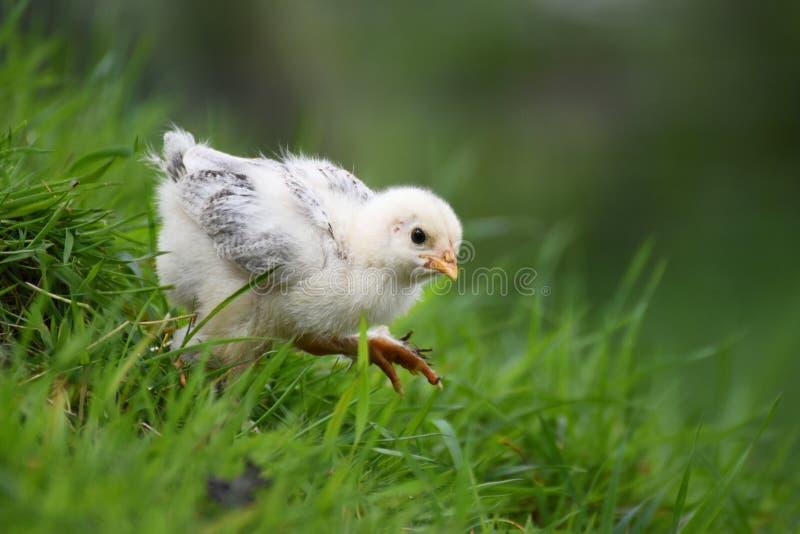 Цыпленок Brahma стоковые фото
