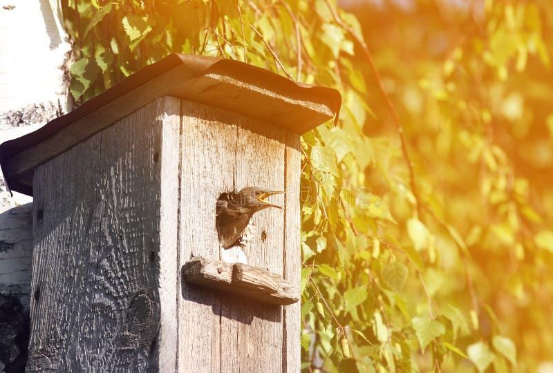 Цыпленок Starling смотрит из дома на солнечный весенний день стоковые фото