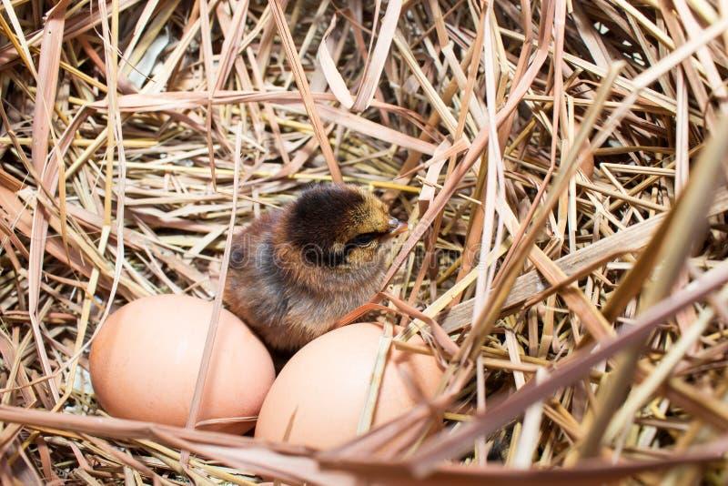 Цыплята в гнезде стоковое фото