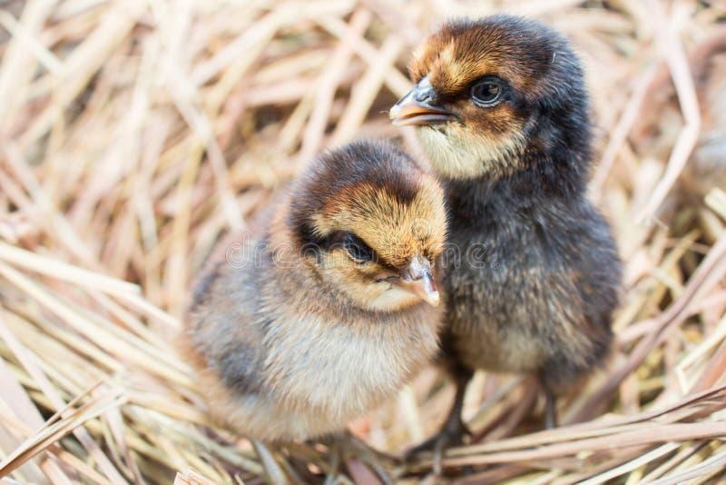 Цыплята в гнезде стоковое изображение
