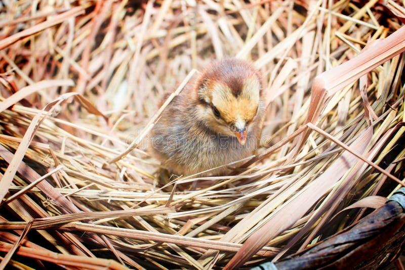 Цыплята в гнезде стоковые изображения