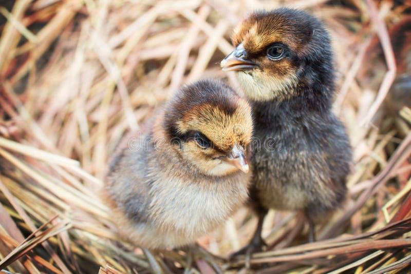 Цыплята в гнезде стоковое изображение rf