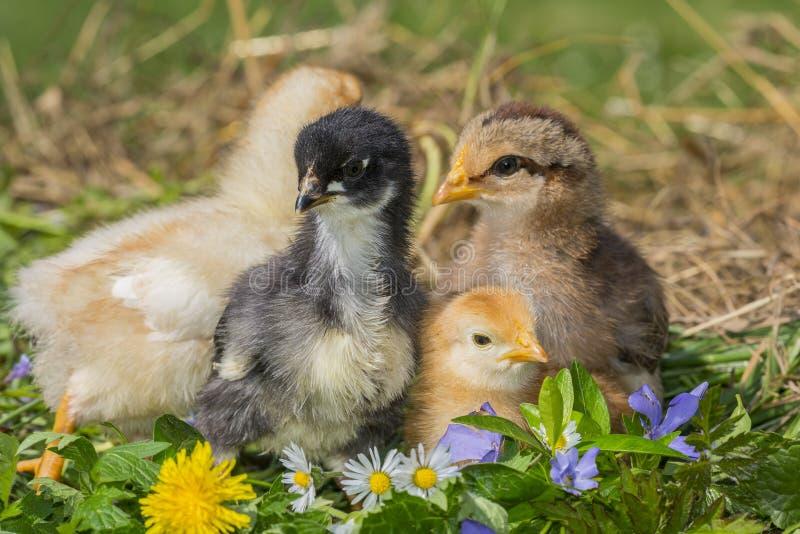 Цыплята в траве стоковые изображения rf