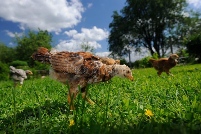 Цыплята идя в двор стоковое фото rf