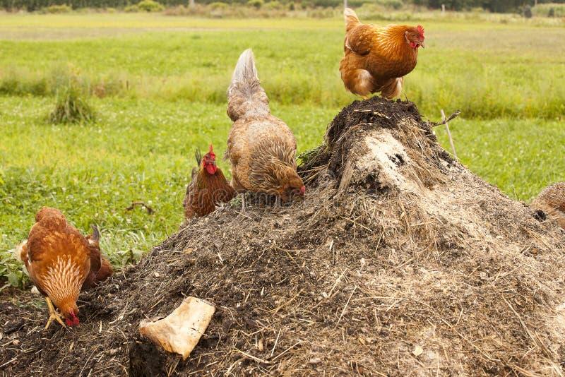 Цыплята на компосте стоковые изображения rf