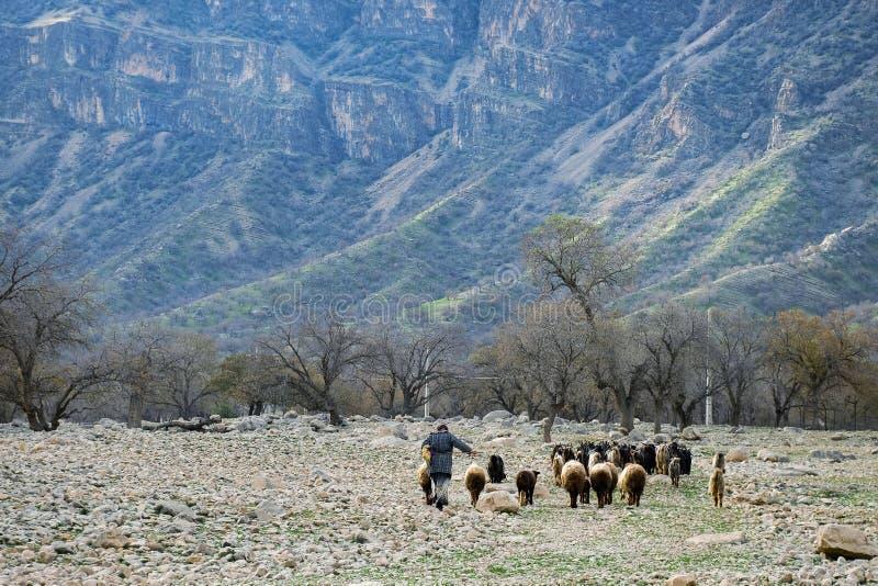 Чабан идет к холму с животными стоковая фотография rf