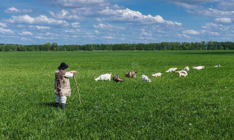 Чабан и табун коз на выгоне стоковое изображение