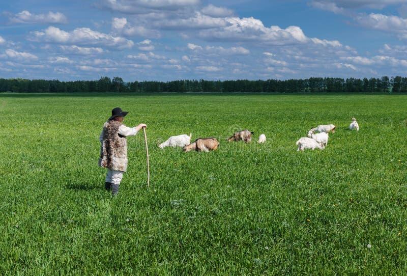 Чабан и табун коз на выгоне стоковые изображения rf