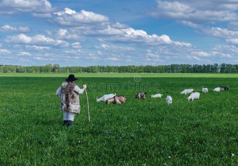 Чабан и табун коз на выгоне стоковое фото