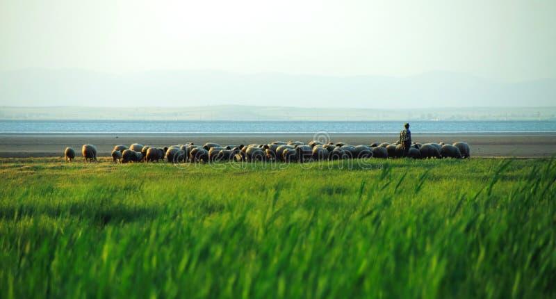 чабан овец стаи стоковые изображения rf