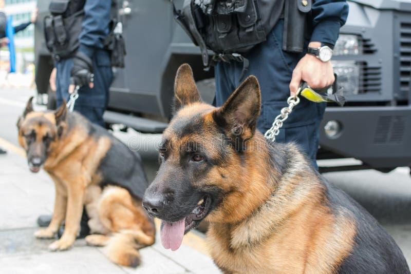Чабан полиции собак-немецкий стоковая фотография