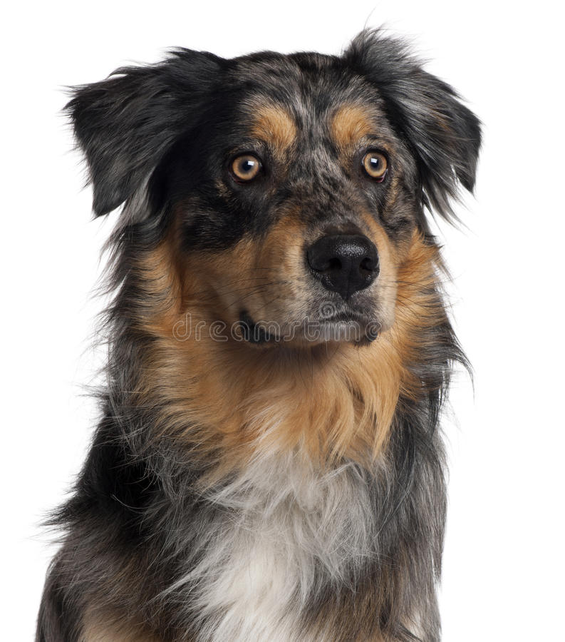 чабан собаки австралийца близкий вверх стоковое фото