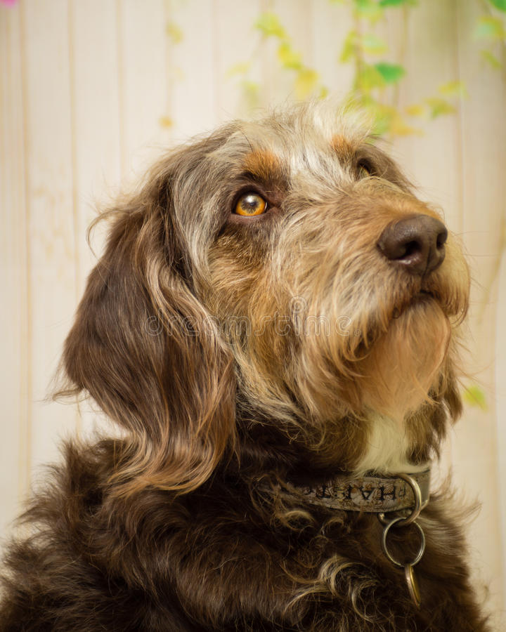 чабан собаки Коллиы breed граници Бельгии смешанный стоковое изображение