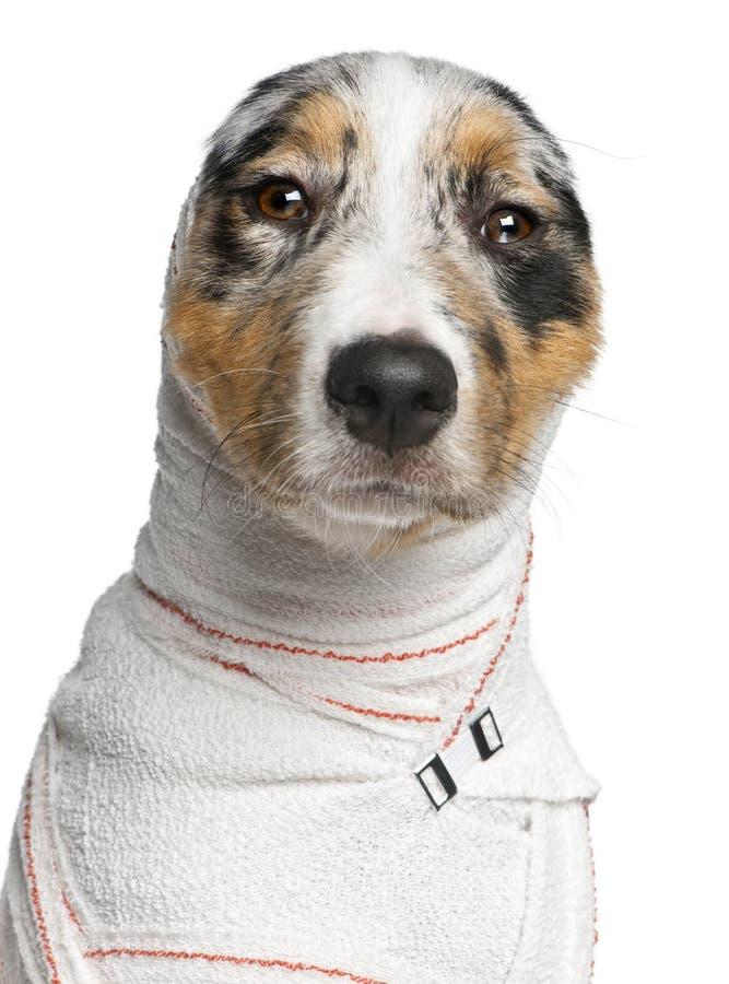 чабан щенка австралийца близкий вверх стоковое фото rf