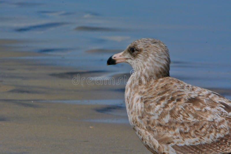 Чайка Брайна стоя в песке вдоль океана стоковое изображение rf