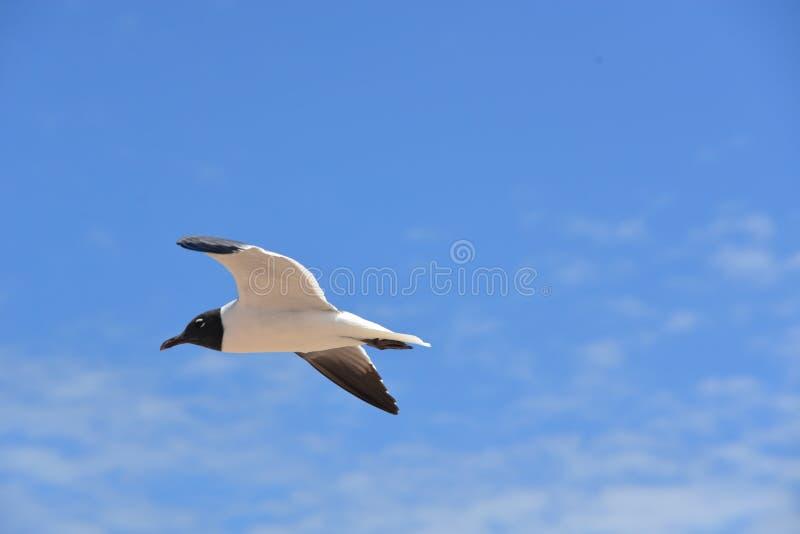 Чайка витает над пляжем Fernandina, береговой линией Флориды стоковое изображение