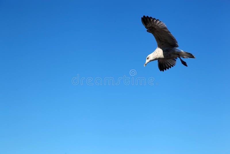 Чайка в голубом небе без облаков стоковое изображение rf