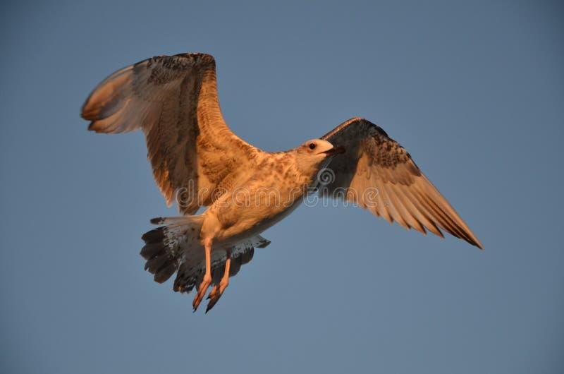 Чайка в небе стоковые фото