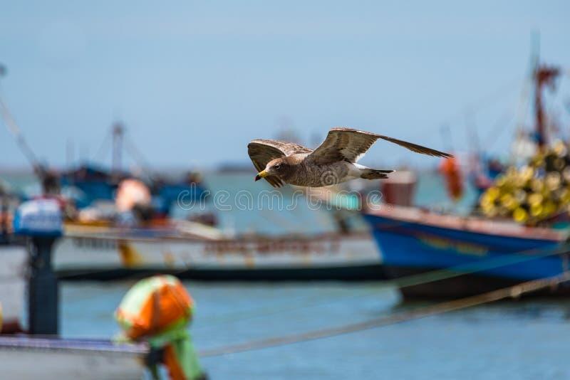 Чайка в полете проходя рыбацкие лодки, Paracas, Перу стоковые фото
