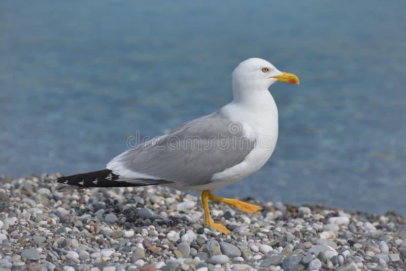 Чайка в пустом пляже стоковое изображение rf