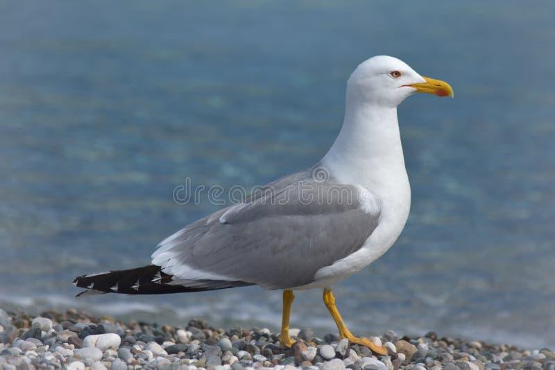 Чайка в пустом пляже стоковые изображения