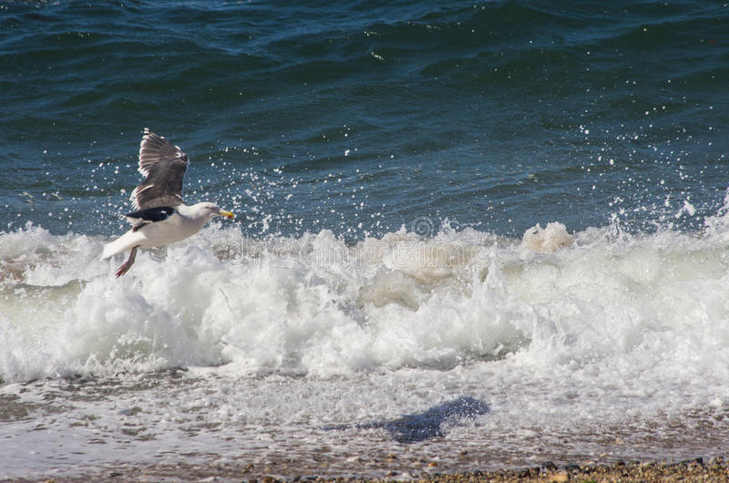 Чайка летая над волнами на пляже стоковые изображения