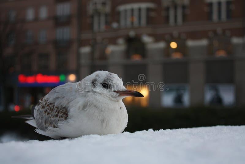 Чайка зимы стоковая фотография rf